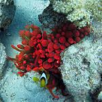 Scuba Diving in Aqaba