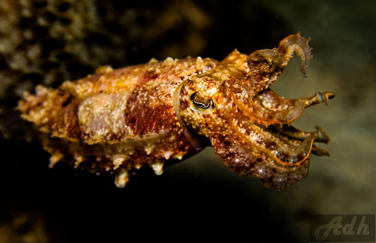 Broad Club Cuttlefish Sepia Latimanus