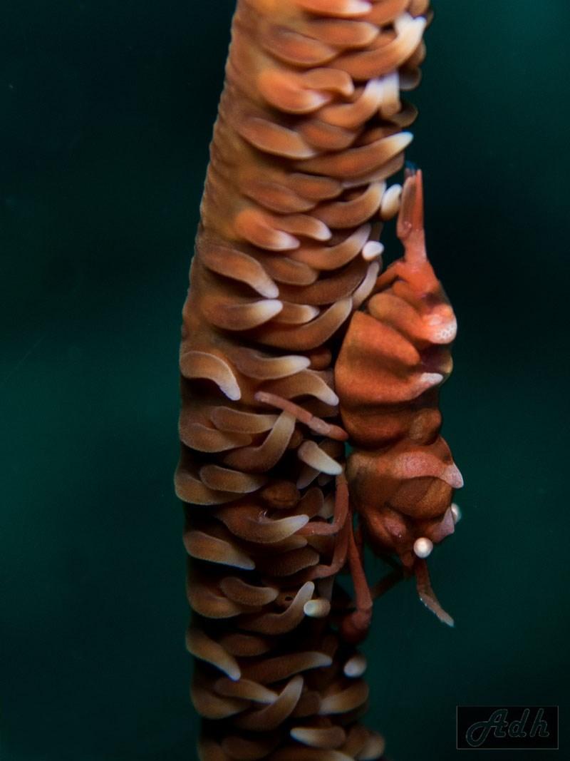 Coral Whip Shrimp, Malapascua, the Visayas, Philippines