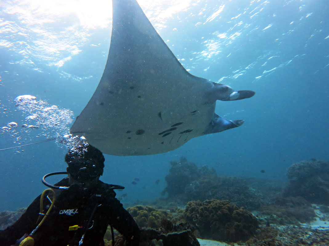 Diver with Manta at Manta Point, Komodo