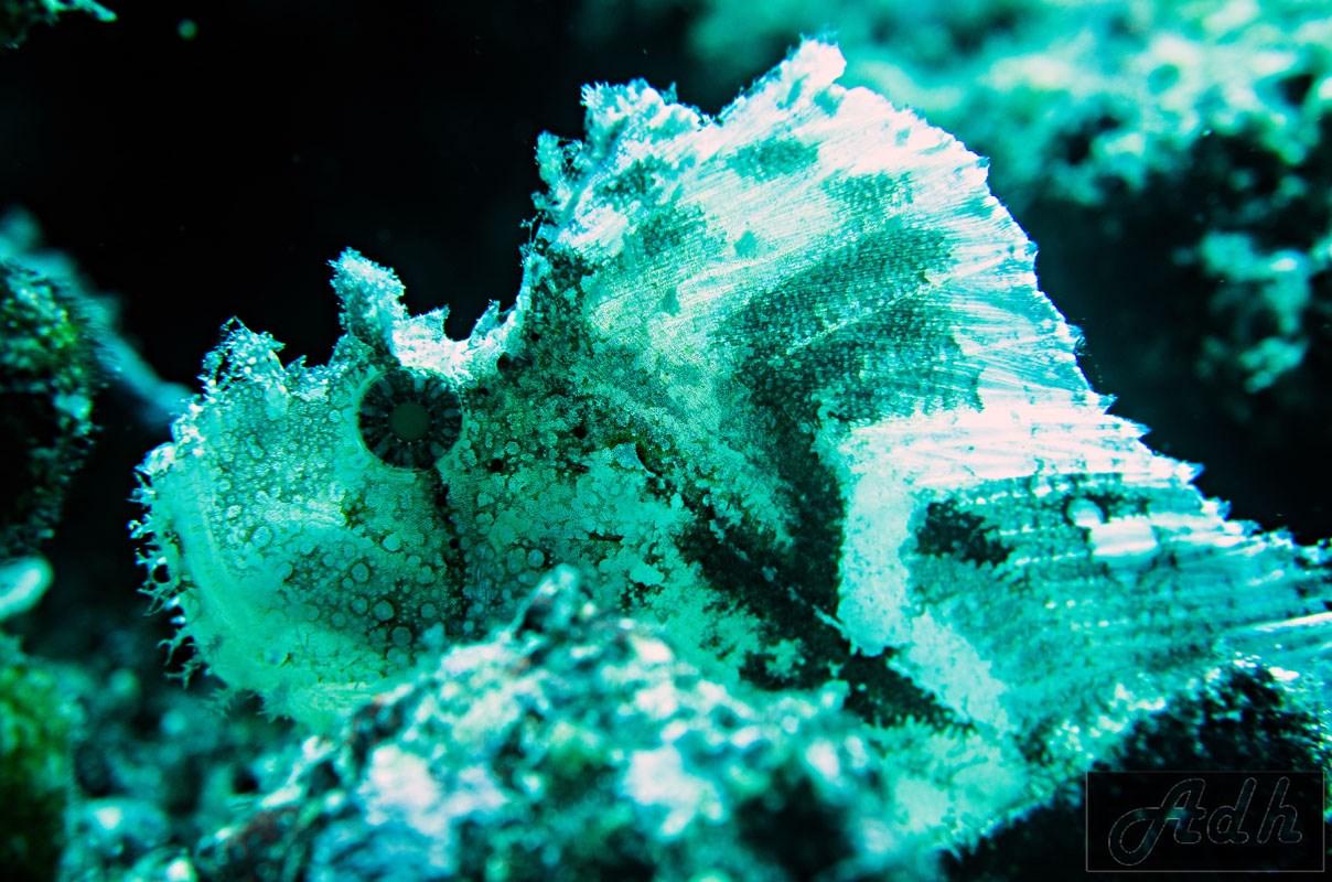 Leaf Scorpion Fish - White Variation