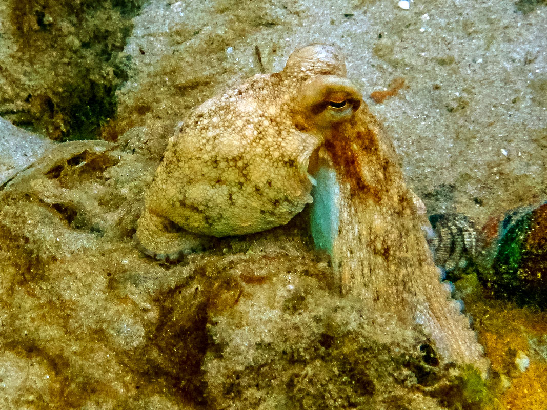 Octopus at Blue Heron Bridge, Florida