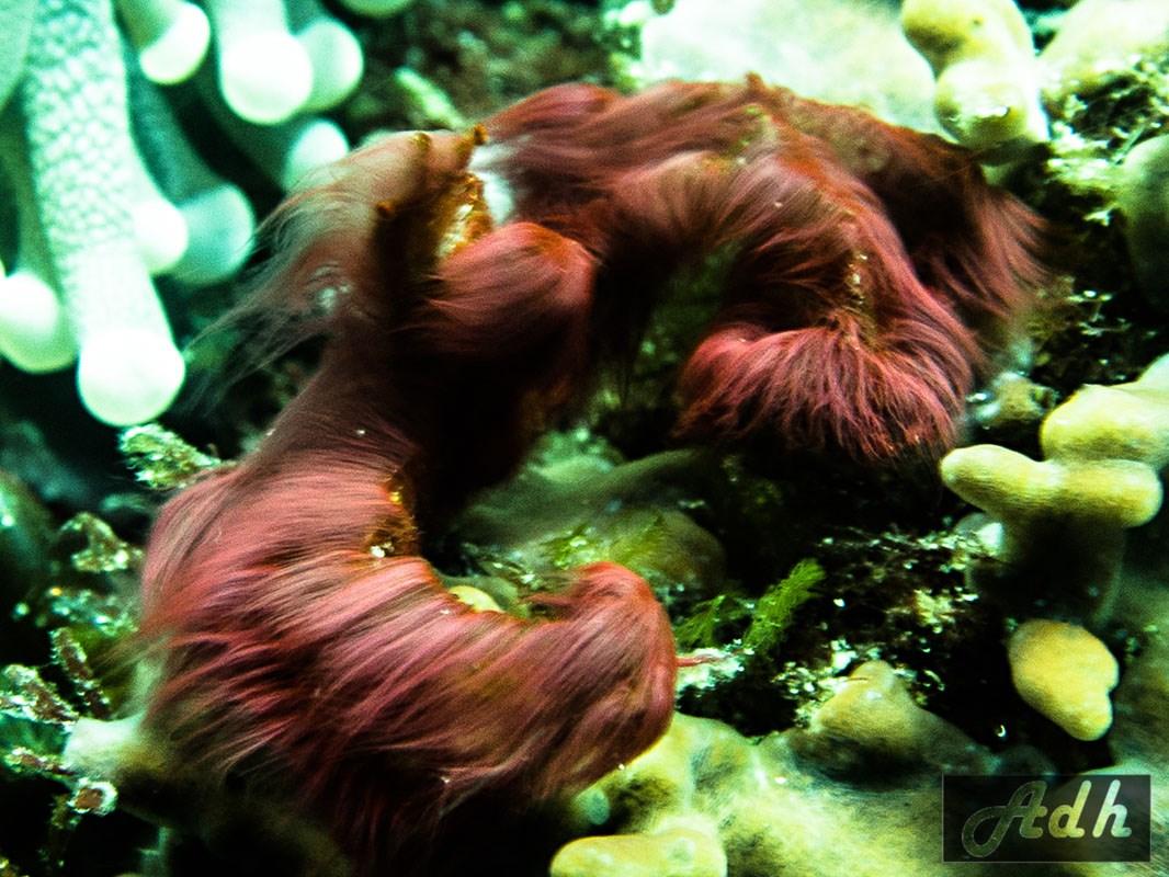 Orangutan Crab - Achaeus Japonicus