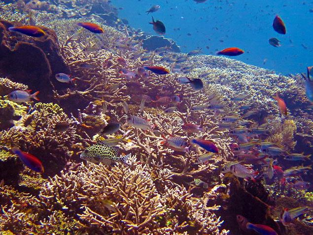 Staghorn Coral Garden Tatawa Besar
