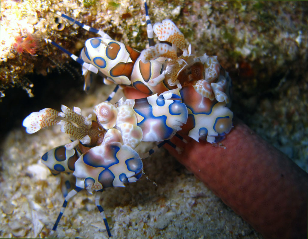 Harlequin shrimps in Phi Phi Islands