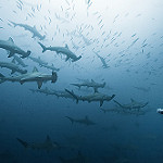 Scuba Diving in Cocos Island