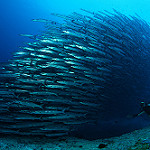 Scuba Diving in Derawan