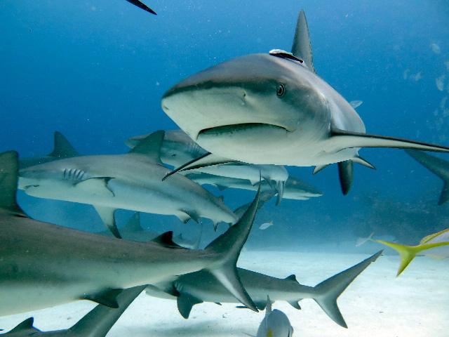 Caribbean Sharks