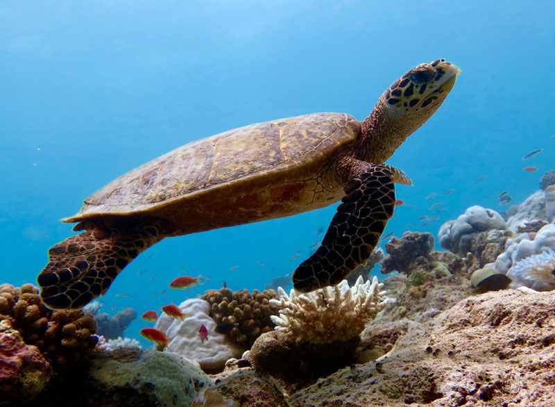 Sea turtles are some or the most fascinating and friendly creatures living in the Ocean. They are threatened by the large amount of pollution in the sea, so a step towards turtle conservation needs to be made.