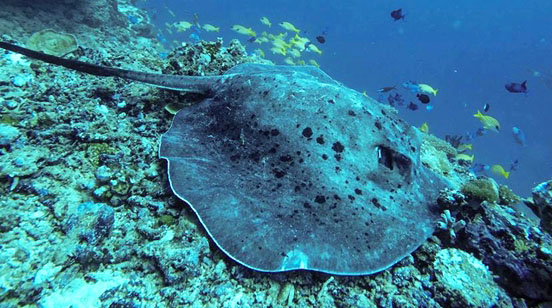 Kudarikilu wall ray