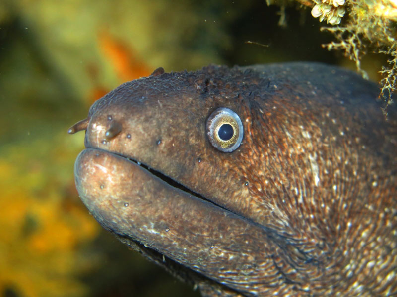 Moray Eel at Bergeggi island dive site