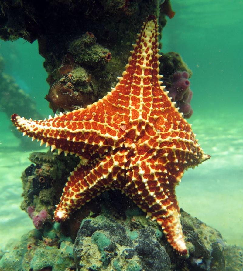 Starfish in Punta Francesa, Cuba