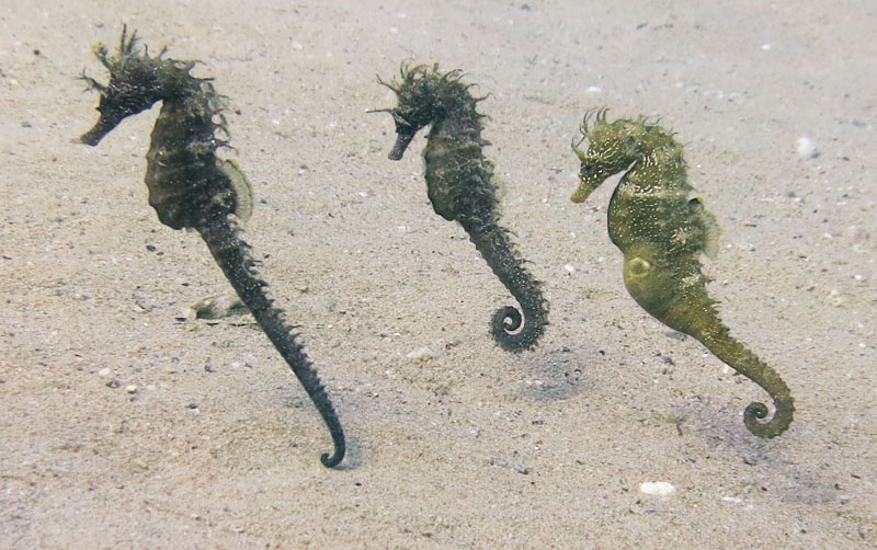 Seahorses mating season dance - Caponoli Dive Site