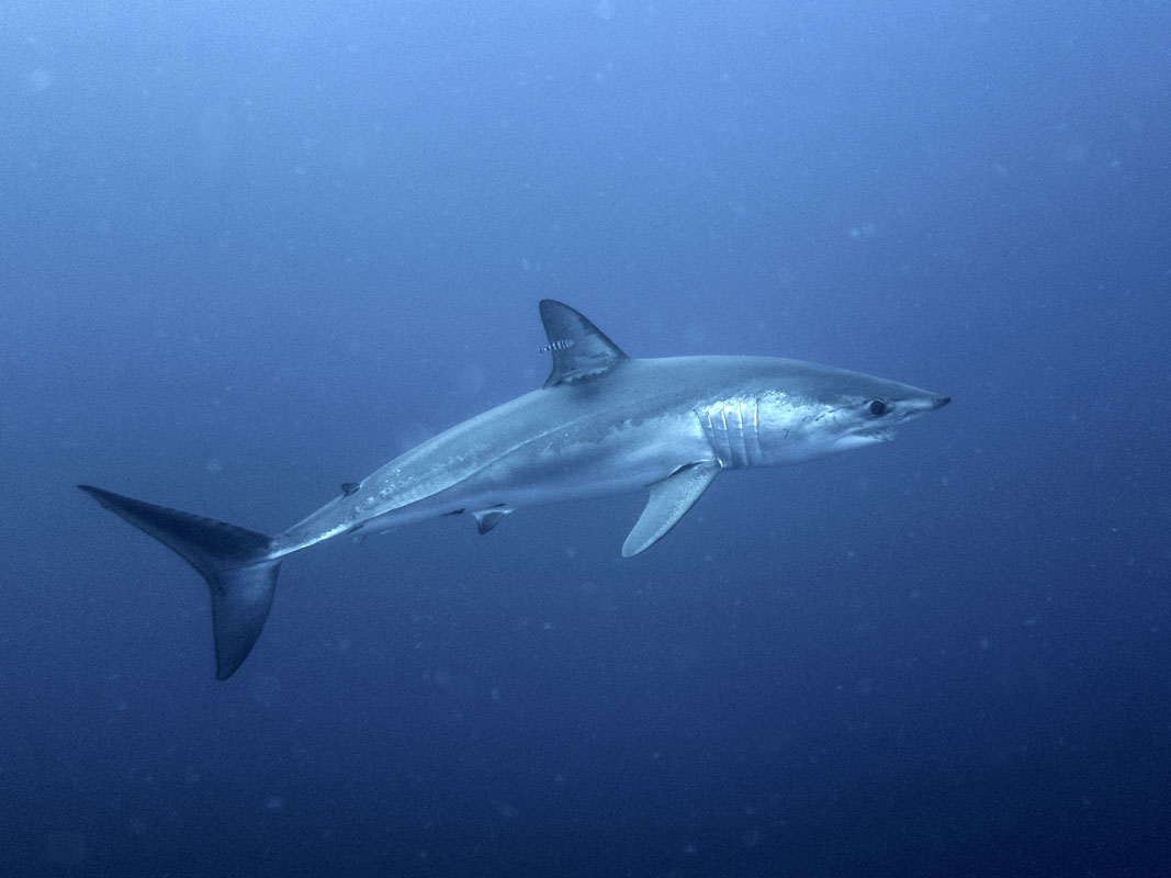 Blue Shark at The Deep in South Africa