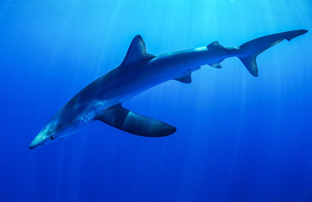 Blue Shark at Deep South dive site