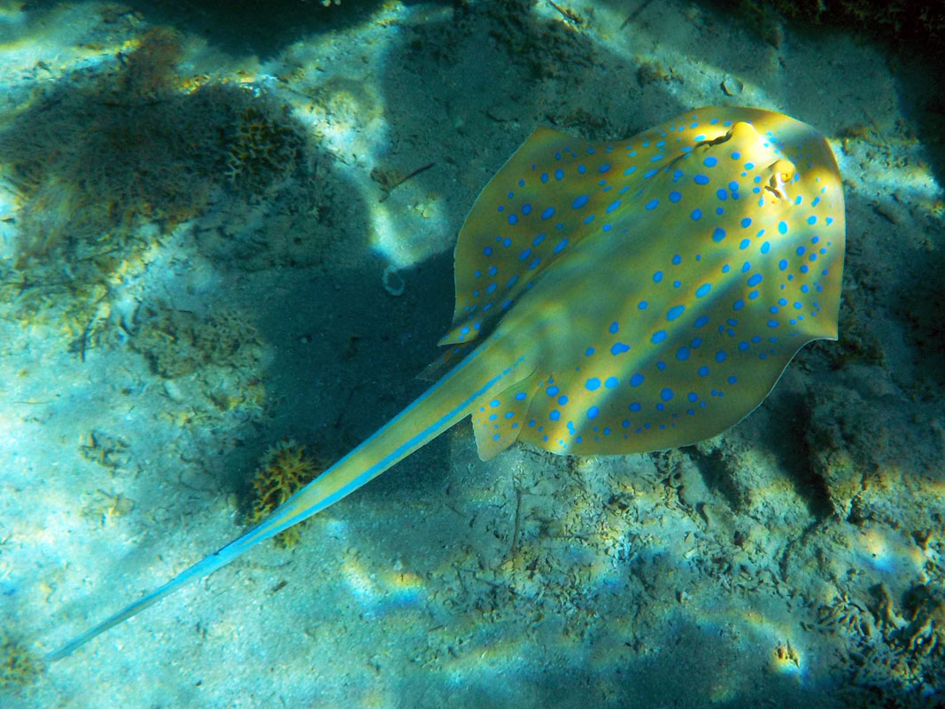 Blue Spotted Stingray at Sataya, Red Sea, Egypt