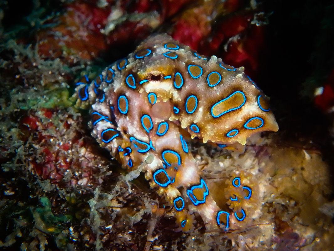 Bluering Octopus at Pom Pom Island, Sabah