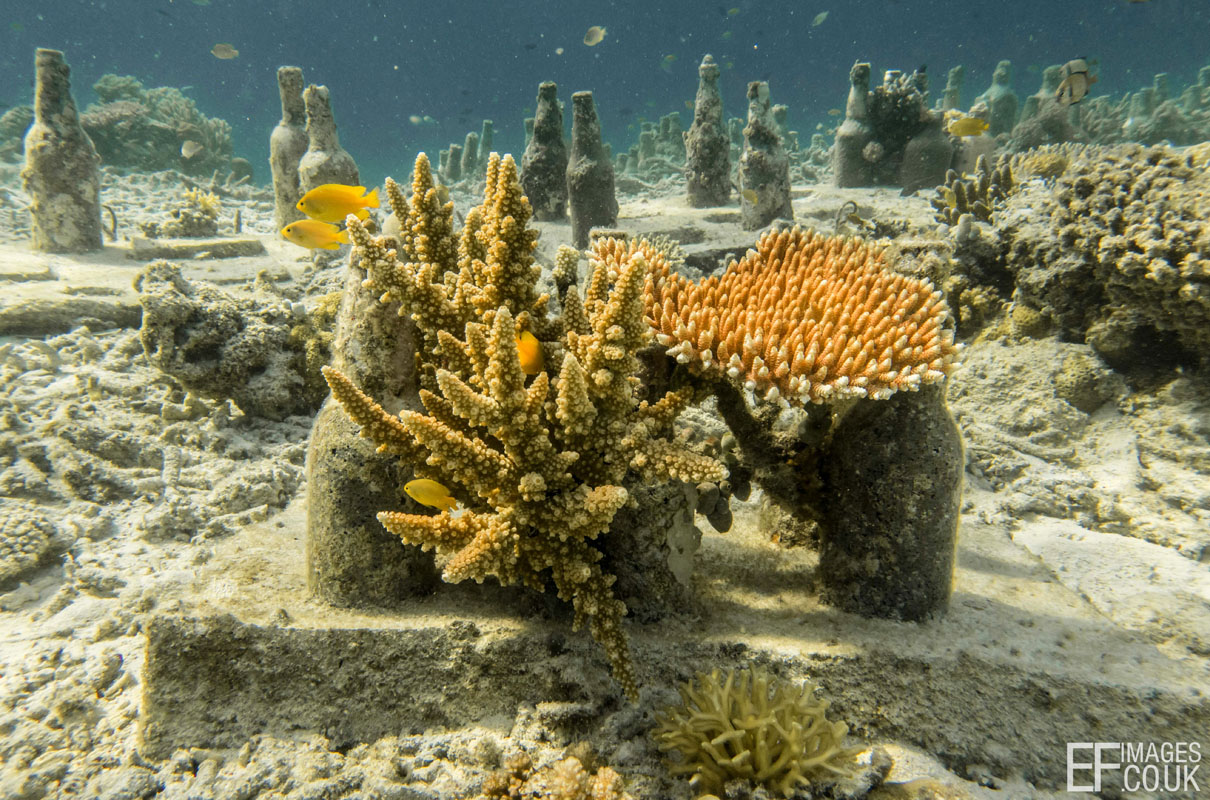 Corals growing on reef restoration structures