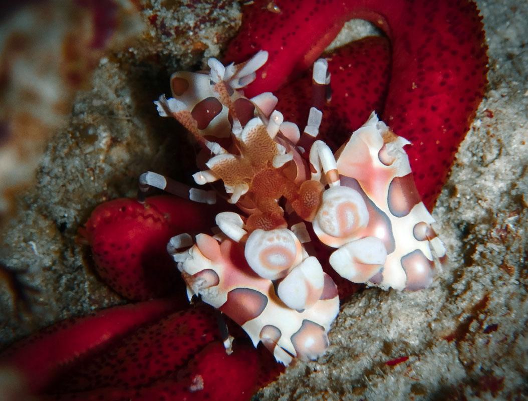 Harlequin Shrimp feeding on Starfish