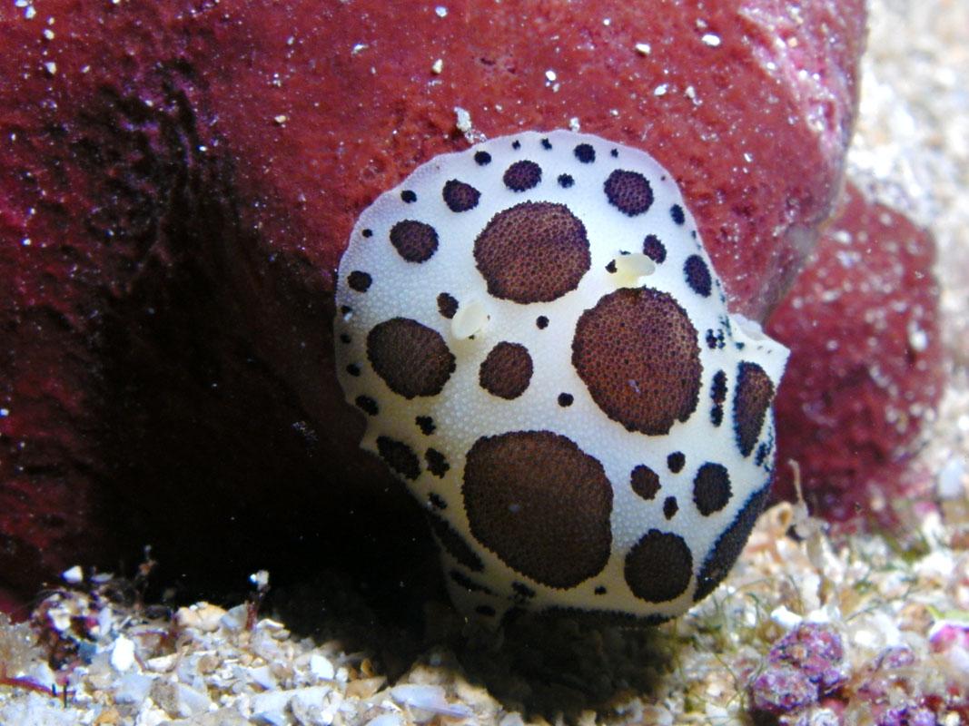 Leopard Sea Slug Peltodoris atromaculata