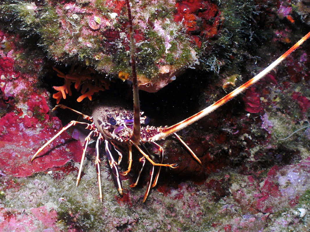 Lobster at Giranda Wall, Croatia