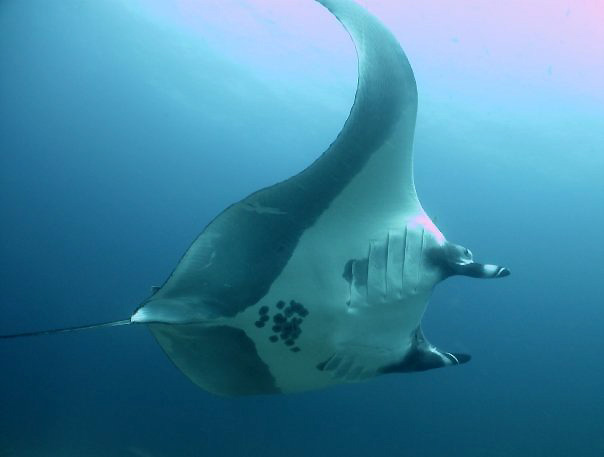 Manta ray in Costa Rica