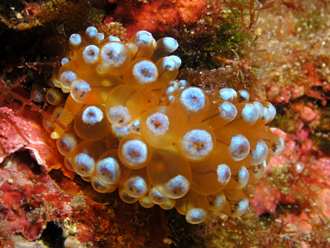 Nudibranch Janolus Cristatus