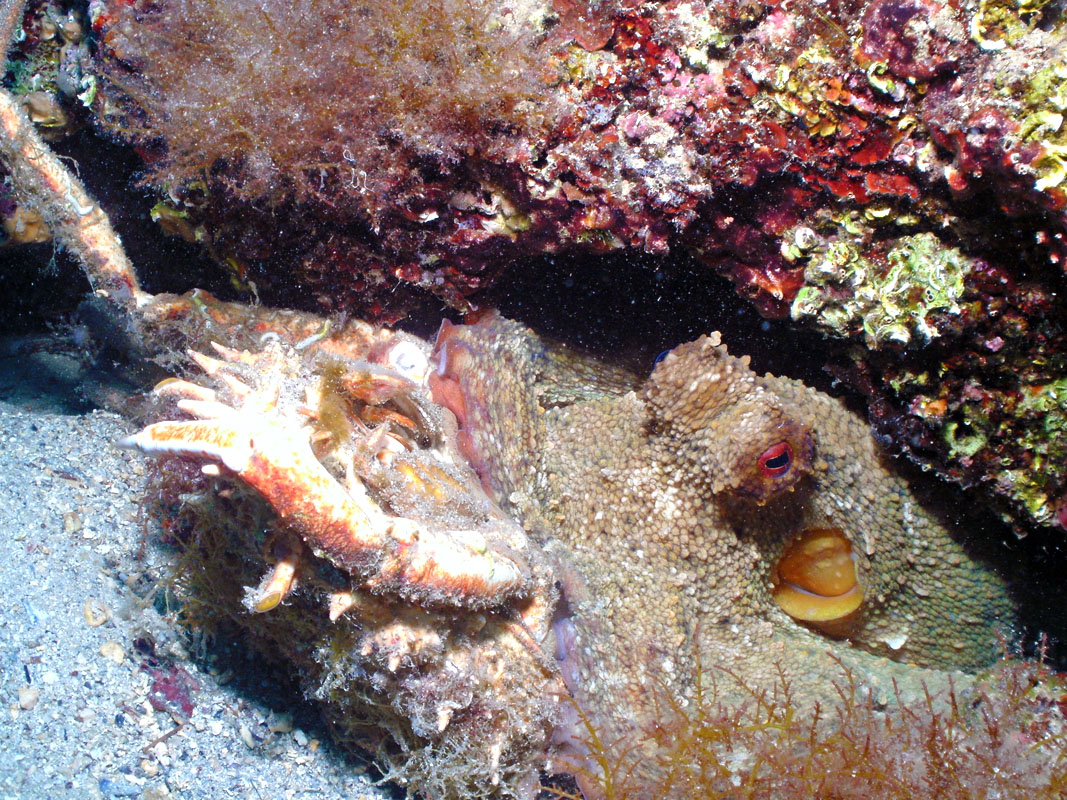 Octopus eating a spider crab