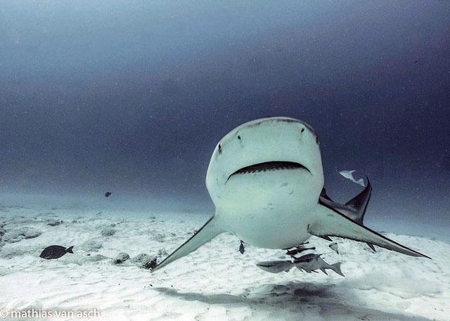 SHARK POINT, BULL SHARK DIVE, Scuba Diving, Buceo