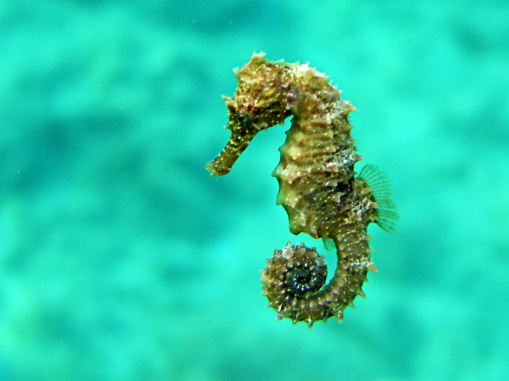 Short snouted yellow seahorse horsefish