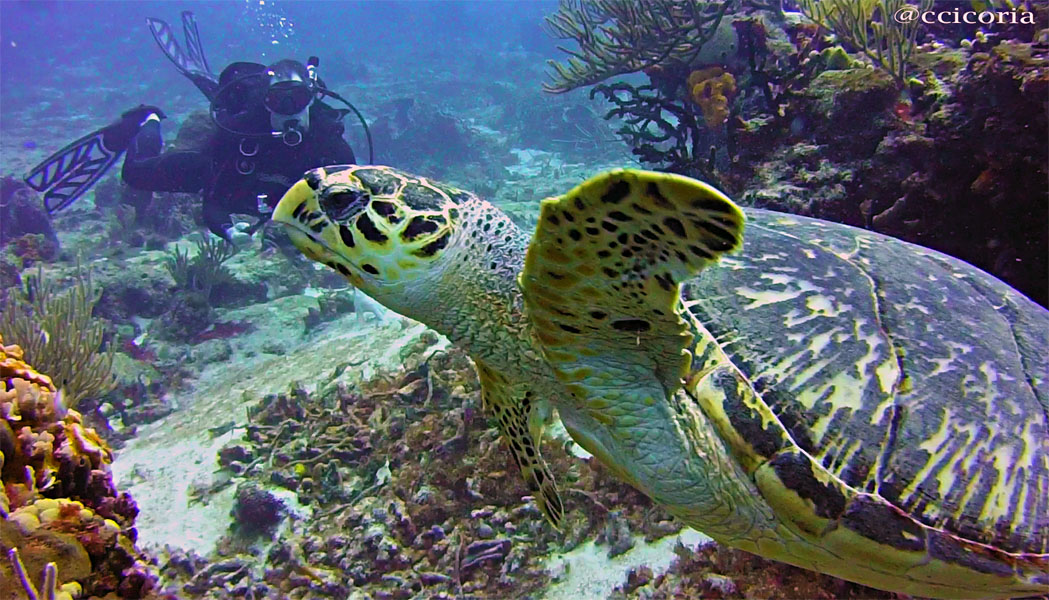 Hawksbill Turtle at Santa Rosa Wall dive site
