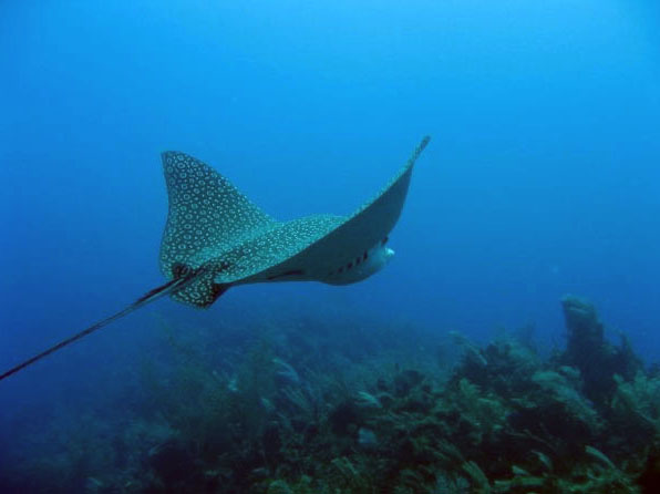 Eagle ray in Belize