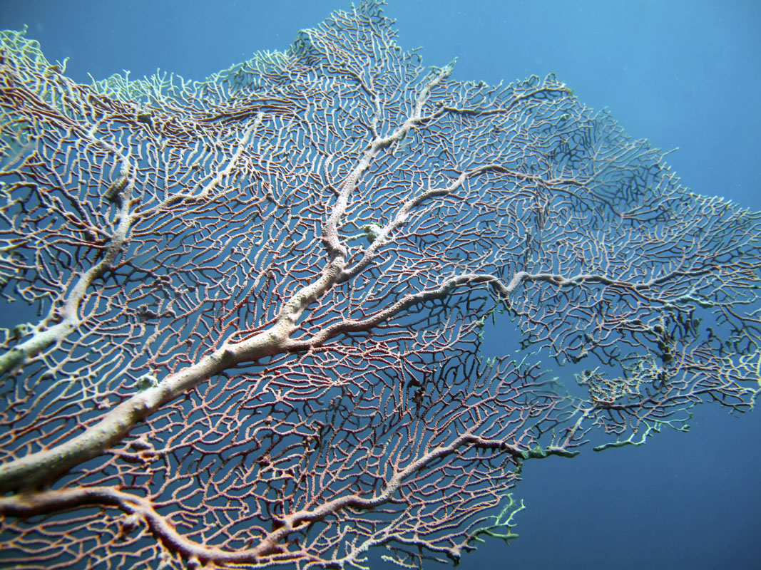 A Gorgonian aka fan coral, found at the dive site called 'Caves', 12 km off the coast of Pondicherry.
