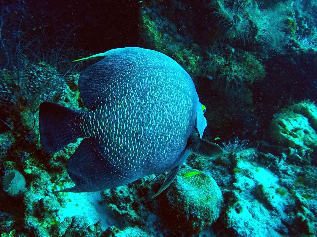Paso del cedral wall batfish